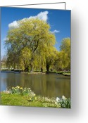 Willows Digital Art Greeting Cards - A Willow in Spring Greeting Card by Donald Davis