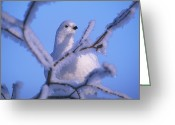 Crisp Greeting Cards - A Willow Ptarmigan Greeting Card by Nick Norman