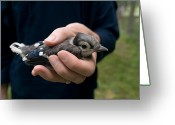 Blue Jay Greeting Cards - A Woman Holds A Juvenile Blue Jay Greeting Card by Joel Sartore