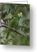 Amazon Parrot Greeting Cards - A Yellow-shouldered Amazon Amazona Greeting Card by Joel Sartore