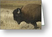 Horns Greeting Cards - A Yellowstone Bison 9615 Greeting Card by Michael Peychich