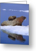 Walruses Greeting Cards - A Young Atlantic Walrus Odobenus Greeting Card by Paul Nicklen