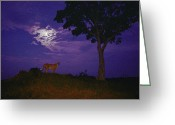 Prowling Greeting Cards - A Young Cheetah Prowls By Moonlight Greeting Card by Chris Johns