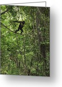 Senegal Greeting Cards - A Young Chimpanzee Grips A Limb Greeting Card by Frans Lanting