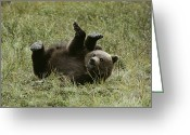 Grizzly Bears Greeting Cards - A Young Grizzly Rolls Over Into An Greeting Card by Michael S. Quinton