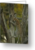 Leopards Greeting Cards - A Young Leopard Practices Her Hunting Greeting Card by Beverly Joubert
