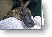 Program Greeting Cards - A Zookeeper Cradles A Platypus As Part Greeting Card by Jason Edwards