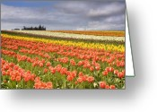 Farm Fields Greeting Cards - Across colorful fields Greeting Card by Mike  Dawson