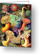 Inspirational Drawings Greeting Cards - Actiniae Sea Anemones Greeting Card by Ernst Haeckel