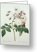 Gardening Drawings Greeting Cards - Adelia aurelianensis Greeting Card by Pierre Joseph Redoute