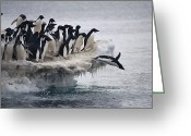 Large Group Greeting Cards - Adelie Penguin Pygoscelis Adeliae Greeting Card by Tui De Roy