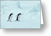 Conformity Greeting Cards - Adelie Penguins, Antarctica Greeting Card by Chris Sattlberger