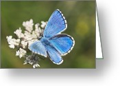 Food Source Greeting Cards - Adonis Blue Butterfly Greeting Card by Adrian Bicker