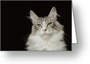 Coon Greeting Cards - Adult Maine Coon Cat, Close-up Greeting Card by GK Hart/Vikki Hart