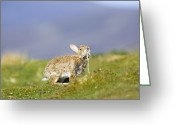Chin Up Greeting Cards - Adult Rabbit Marking Scent Greeting Card by Duncan Shaw