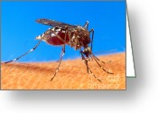 Biting Greeting Cards - Aedes Aegypti Mosquito Greeting Card by Science Source