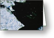 Delphinapterus Leucas Greeting Cards - Aerial Of A Gathering Of Beluga Whales Greeting Card by Norbert Rosing