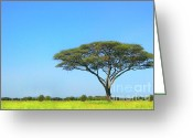 Tree. Acacia Greeting Cards - Africa Greeting Card by Sebastian Musial