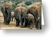 African Animals Greeting Cards - African Bush Elephants Greeting Card by Peter Chadwick