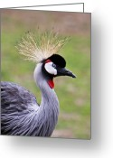 Intent Greeting Cards - African Crowned Crane Greeting Card by Douglas Barnett