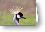 Intent Greeting Cards - African Crowned Crane portrait Greeting Card by Douglas Barnett