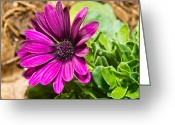 Aster  Greeting Cards - African Daisy 1 Greeting Card by Douglas Barnett