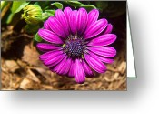 Aster  Greeting Cards - African Daisy 2 Greeting Card by Douglas Barnett