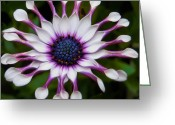 Exotic Flora Greeting Cards - African Daisy Greeting Card by Svetlana Sewell