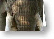 Henry Doorly Zoo Greeting Cards - African Elephant At The Omaha Zoo Greeting Card by Joel Sartore