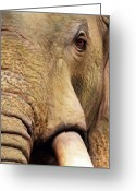 African Wildlife Greeting Cards - African Elephant Greeting Card by Bill Fleming