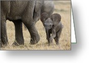 Maasai Mara Greeting Cards - African Elephant Mother And Under 3 Greeting Card by Suzi Eszterhas