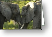 Captive Animals Greeting Cards - African Elephants Loxodonta Africana Greeting Card by Joel Sartore