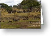 On-the-look-out Greeting Cards - African Herds on the Move Greeting Card by Darcy Michaelchuk