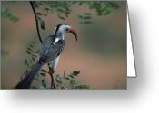 Hornbill Greeting Cards - African Hornbill on Branch Greeting Card by Carl Purcell