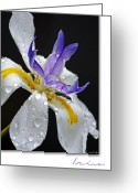 Iris Greeting Cards - African Iris Greeting Card by Holly Kempe