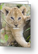 Threatened Species Greeting Cards - African Lion Cub Kenya Greeting Card by Suzi Eszterhas