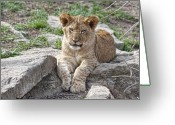 Feline Greeting Cards - African Lion Cub Greeting Card by Tom Mc Nemar
