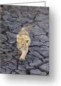 Mud Greeting Cards - African Lion Cub Walking On Dry Greeting Card by Suzi Eszterhas