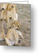 Maasai Mara Greeting Cards - African Lion Mother Picking Up Cub Greeting Card by Suzi Eszterhas