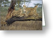 Communicating Greeting Cards - African Lion Panthera Leo Family Greeting Card by Konrad Wothe