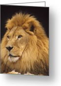 Threatened Species Greeting Cards - African Lion Panthera Leo Male Greeting Card by Gerry Ellis