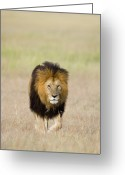 Maasai Mara Greeting Cards - African Lion Panthera Leo Male, Masai Greeting Card by Suzi Eszterhas