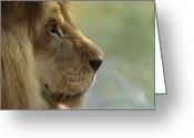 Threatened Species Greeting Cards - African Lion Panthera Leo Male Portrait Greeting Card by Zssd