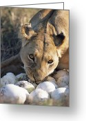 Carnivores Greeting Cards - African Lion Panthera Leo Raiding Greeting Card by Peter Blackwell