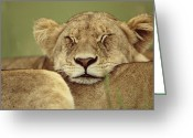 Maasai Mara Greeting Cards - African Lion Panthera Leo Resting Head Greeting Card by Anup Shah