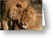 Carnivores Greeting Cards - African Lion Panthera Leo Two Males, Mt Greeting Card by Michael & Patricia Fogden