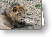 Feline Greeting Cards - African Lion Greeting Card by Tom Mc Nemar