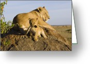 Biting Greeting Cards - African Lion With Mothers Tail Greeting Card by Suzi Eszterhas