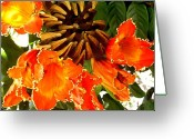 Molokai Greeting Cards - African Tulip Tree Greeting Card by James Temple