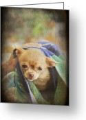 Chihuahua Greeting Cards - After The Bath Greeting Card by Laurie Search